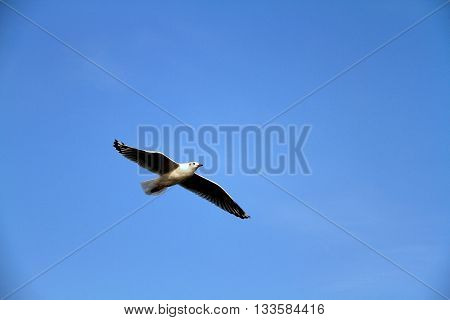 A white seagull flying in the blue sky.