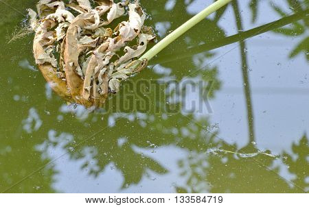 dry papaya leaf falling on the pool