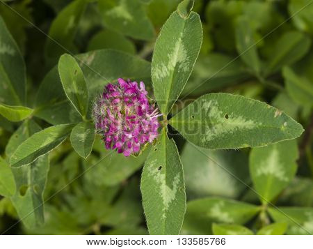 Flower and leaves of Red Clover Trifolium pratense with bokeh background macro selective focus shallow DOF