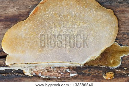 big fungus on the old wooden plank