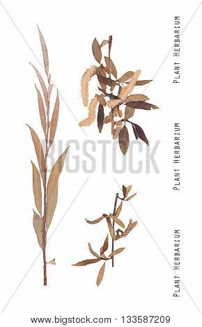 Herbarium of pressed leaves branches and inflorescences of a willow tree isolated