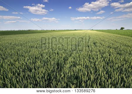 Wheat field and countryside scenery. Wheat Field and Clouds. Green Wheat field on sunny day, Blue sky, Cloudscape, Summer landscape