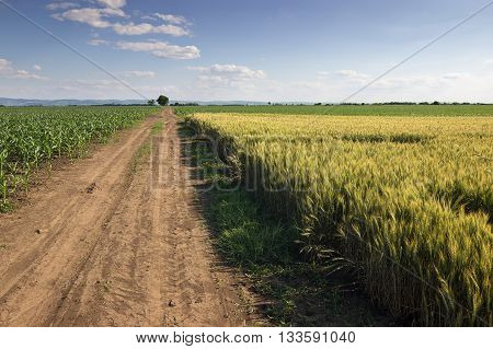 Summer landscape with country road and fields. Dirt road in a fields. Lonely tree