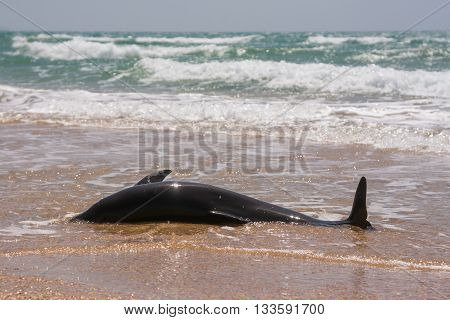The Body Of A Dead Bottlenose Dolphins Washed Ashore