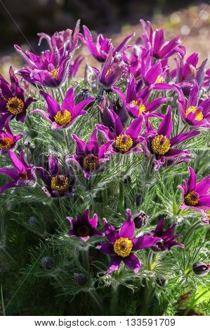 Spring flower - Pasque Flower (Pulsatilla armena)