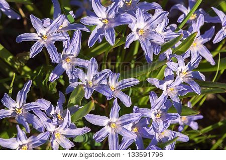 Chionodoxa known as glory-of-the-snow. Spring flowers, blossoming