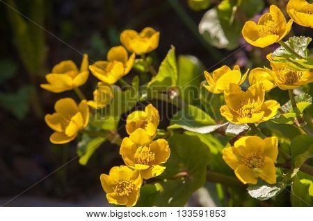 Flowers Caltha palustris known as marsh-marigold and kingcup