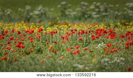 poppy field close group of poppies mixed with wild daisies, oil seed rape and hedge parsley