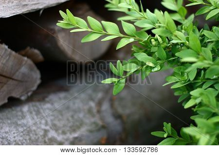 Hedgerow bush with waterdrops with wooden background with place for text