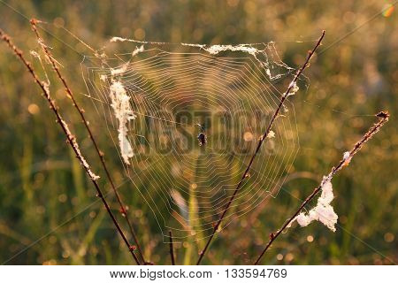 spider web and spider on meadow plants on blurred background