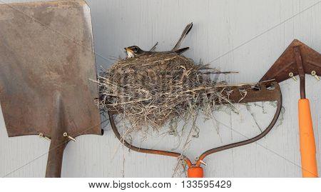 Robin Bird on a Nest on a Rake.