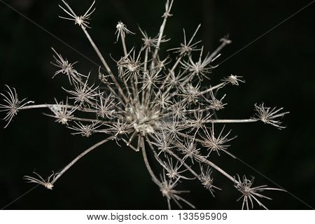 Beautiful queen Ann's lace after cold harsh winter