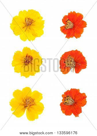 Set heads of dried pressed yellow and orange flowers isolated