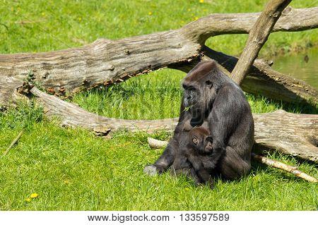 A Western Gorilla
