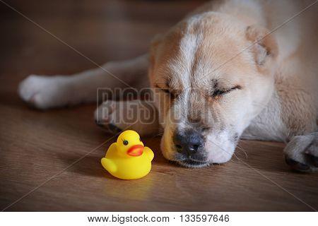 Central Asian Shepherd puppy sleeping on the floor
