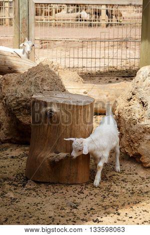 Goat In Natural Park