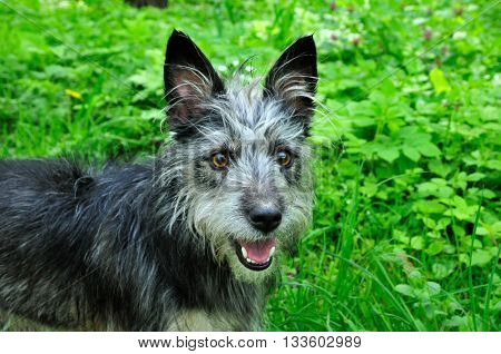 Mongrel dog, mongrel dog similar to the breed Cairn Terrier or a Australian terrier. Young dog saw a horse and was surprised.