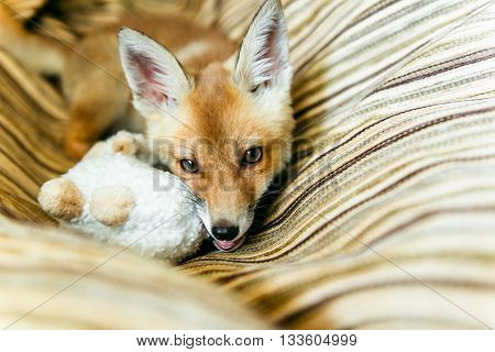 small fox playing with toys. 3 months the little fox. Little fox domestication