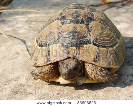 The slow and beautiful turtle relaxing on the ground.