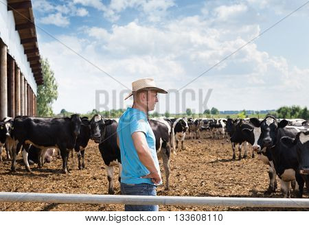 Cowboy Cowboy and Cows. Portrait of a man on farm with dairy cows