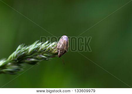 Macro photo of a Bishops Mitre Shieldbug (Aelia acuminata)