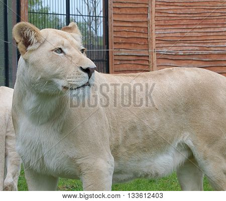 Boryszew, Poland - May 03, 2016 Unique White lioness in a zoo in Boryszew near Poddebice.
