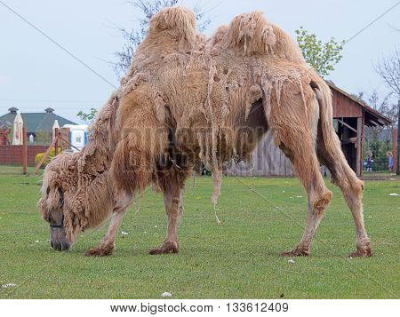 Dromedary camel.  Boryszew, Poland - May 03, 2016 Camel with two humps eats grass on his catwalk, at the zoo in Boryszew.