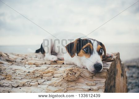 small dog breed Jack Russell Terrier sad lies on a log on the sea shore on a summer evening