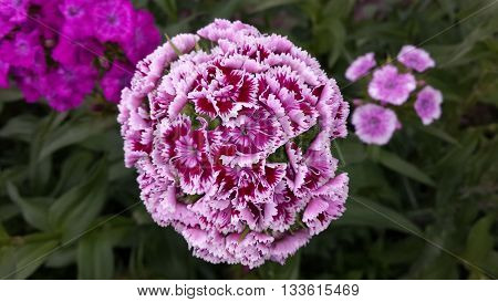 Fully open purple with white stripes flower with multiple smaller flowers combined in one big one on a green leaves background.