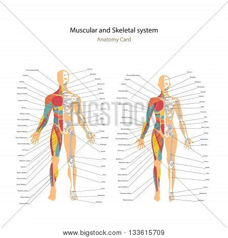 Male and female muscle and bony system charts with explanations. Anatomy guide of human physiology. Didactic board of anatomy.