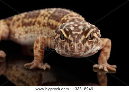 Closeup Head of Leopard Gecko Eublepharis macularius Isolated on Black Background, front view