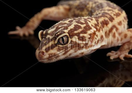 Closeup Head of Leopard Gecko Eublepharis macularius Isolated on Black Background