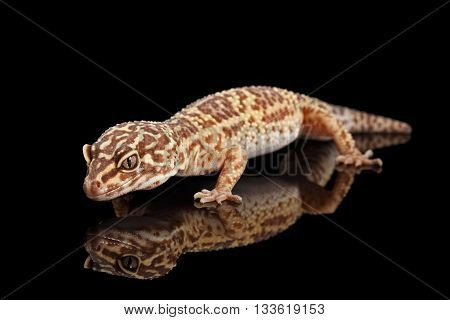 Closeup Leopard Gecko Eublepharis macularius Isolated on Black Background