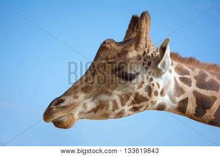 Close up portrait of a giraffe head and blue sky background