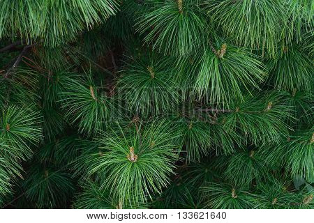 green prickly of pine tree branches background