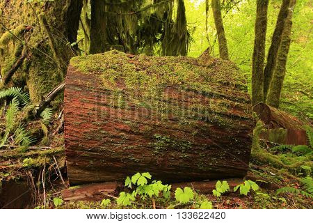 a picture of an exterior Pacific Northwest old growth rainforest cedar tree log
