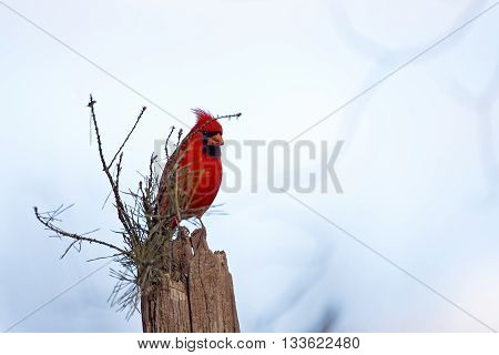 Red male northern cardinal with copy space to the right side