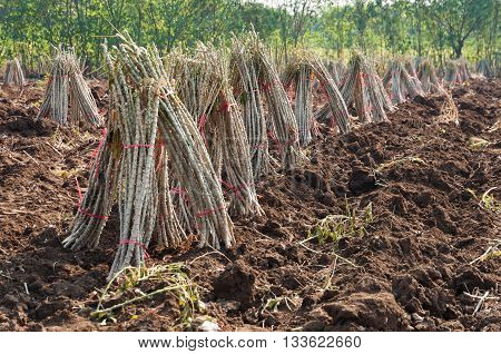 Cassava plantation agricultures and farming preparing in a sunshine day