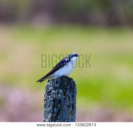The tree swallow is a migratory passerine bird that breeds in North America and winters in Mexico, Central America and the Caribbean. It is a very rare vagrant to western Europe.