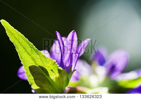 Beautiful Violet Bellflowers In A Forest.