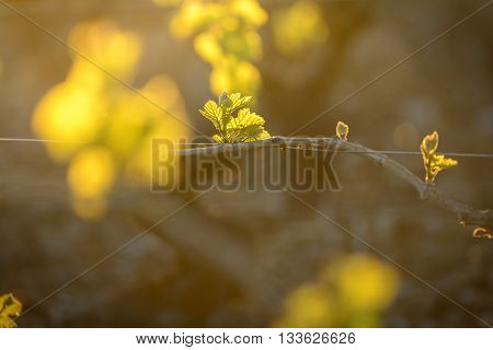 Young Branch With Sunlights In Vineyards
