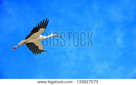 Elegant white stork across clear blue sky