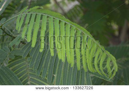 green Senegalia pennata leaves in vegetable garden