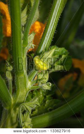 Growing Yellow Gourd