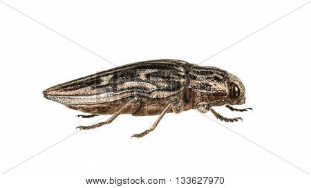 Macro Of Borer Beetle
