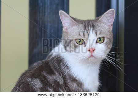 a little lovely american shorthair looking at camera