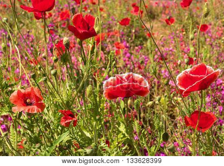 Flower meadow with poppies. Flowers poppies facing the sun.