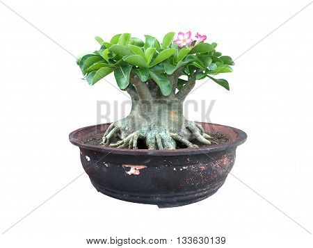 close up azalea tree in pot on isolated