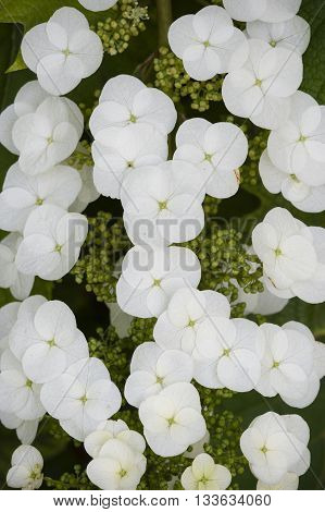 Hydrangea quercifolia flowers oakleaf oak-leaved is a species of flowering plant native to the Southeastern United States