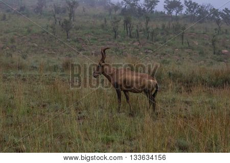 Red Hartebeest grazing in the Welgevonden Game Reserve in South Africa